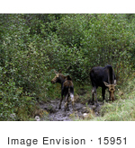 #15951 Picture Of Two Mooses (Alces Alces)