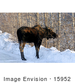 #15952 Picture of a Moose by Bare Birch Trees in Winter by JVPD
