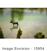 #15954 Picture Of A Moose Wading In A River In Alaska