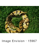 #15967 Picture Of A Canebreak Rattlesnake (Crotalus Horridus)