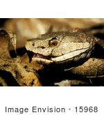 #15968 Picture of a Copperhead Snake by JVPD