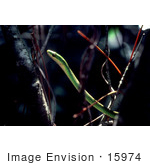 #15974 Picture Of A Royal Green Snake In A Tree
