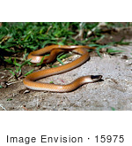 #15975 Picture of a Plains Black-headed Snake (Tantilla nigriceps) by JVPD