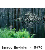 #15979 Picture Of A Beaver Lodge On Still Waters