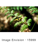#15999 Picture Of A Swallowtail Butterfly On A Fern
