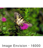 #16000 Picture Of A Yellow Swallowtail Butterfly And Bee On A Thistle Flower by JVPD