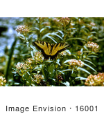 #16001 Picture Of A Tiger Swallowtail Butterfly (Papilio Glaucas)