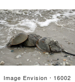 #16002 Picture Of A Group Of Horseshoe Crabs (Limulus Polpyhemus)