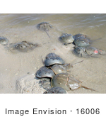 #16006 Picture Of Horseshoe Crabs (Limulus Polpyhemus) In Shallow Water