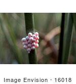 #16018 Picture Of Apple Snail Eggs On A Stick