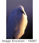 #16087 Picture of a Snowy Egret by JVPD