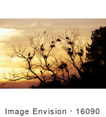 #16090 Picture Of Great Egrets (Casmerodius Albus) In A Tree At Sunset