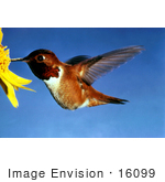 #16099 Picture Of A Rufous Hummingbird (Selasphorus Rufus)