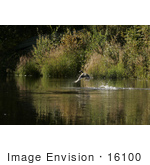 #16100 Picture Of A Mallard Duck (Anas Platyrhynchos) Taking Flight From A River