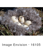 #16105 Picture Of Five Numbered Eggs In A Brent Goose Nest