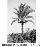 #16227 Picture of a Date Palm Tree (Phoenix dactylifera) by JVPD