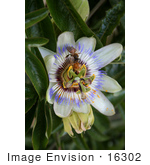 #16302 Picture Of Two Bees On A Passion Flower Collecting Pollen