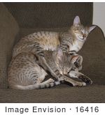 #16416 Picture of Two Sleeping Savannah Kittens by Jamie Voetsch