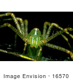 #16570 Picture Of A Green Lynx Spider