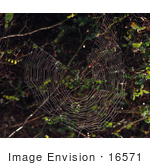 #16571 Picture Of A Spider Making A Web