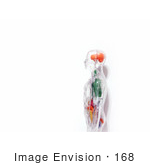 #168 Photograph of a Human Anatomy Model by Jamie Voetsch