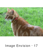 #17 Picture of an Orange Cat Standing on Grass by Kenny Adams