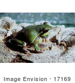 #17169 Picture Of A Pine Barrens Tree Frog