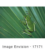 #17171 Picture Of One Green Tree Frog On A Palm Leaf
