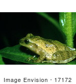 #17172 Picture Of A Green Spring Peeper Frog (Pseudacris Crucifer Hyla Crucifer) On A Leaf At Night