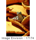 #17174 Picture Of One Poisonous Pickerel Frog (Lithobates Palustris Rana Palustri