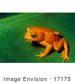 #17175 Picture Of A Monte Verde Toad Golden Toad (Bufo Periglenes)