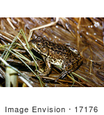 #17176 Picture Of A Frog In Wet Grass