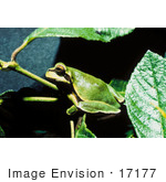 #17177 Picture Of A Pine Barrens Tree Frog On A Branch