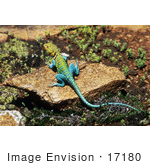 #17180 Picture Of A Collard Lizard (Crotaphytus Collaris) Sunning On A Brown Rock