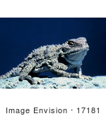 #17181 Picture Of One Pygmy Horned Lizard/Short-Horned Lizard (Phrynosoma Douglasi