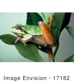#17182 Picture Of A Pine Barrens Tree Frog Perched On Green Leaves