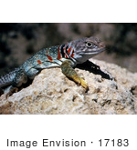 #17183 Picture Of A Collard Lizard (Crotaphytus Collaris) Sunning With Its Belly Down On A Warm Hot Rock