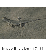 #17184 Picture Of One Coachella Valley Fringe-Toed Lizard (Uma Inornata) In Sand