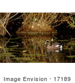 #17189 Picture Of One American Wigeon (Anas Americana) Floating In Marshy Water Near Lilypads And Reeds
