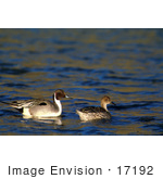 #17192 Picture Of A Pair Of Northern Pintail Ducks (Anas Acuta) Floating On Dark Rippling Water