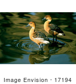 #17194 Picture Of A Pair Of Fulvous Whistling Ducks (Dendrocygna Bicolor) Wading In Shallow Rippling Water