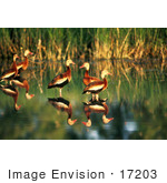 #17203 Picture Of A Group Of Whistling Ducks (Dendrocygna) Wading In Shallow Waters In Golden Sunlight