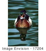 #17204 Picture Of One Carolina Duck Or Wood Duck (Aix Sponsa) Floating On Gentle Rippling Waters