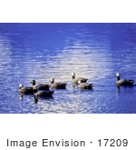 #17209 Picture Of A Small Group Of Emperor Geese (Chen Canagica) Floating On Beautiful Blue Rippling Waters