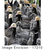 #17210 Picture Of A Gaggle Of Emperor Geese (Chen Canagica)
