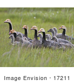 #17211 Picture Of A Small Gaggle Of Emperor Geese (Chen Canagica) In Tall Green Grasses
