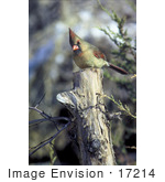 #17214 Picture Of One Female Northern Cardinal (Cardinalis Cardinalis) Perched On A Tree Stump
