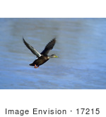 #17215 Picture Of One American Black Duck (Anas Rubripes) Taking Flight Over Blue