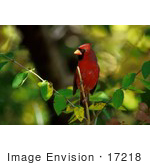#17218 Picture Of One Red Cardinal Bird Perched At Morton National Wildlife Refuge