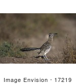 #17219 Picture Of One Roadrunner (Geococcyx)